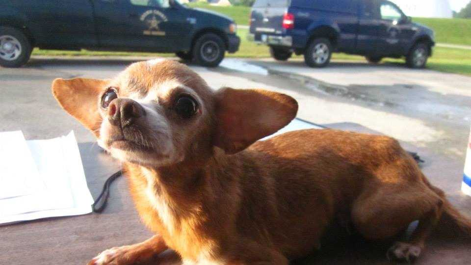 #2943 - This 8-year-old, female Chihuahua does not have a name yet. She's 4 lbs, up to date on all shots but has a severe dental disease. She is available for adoption.