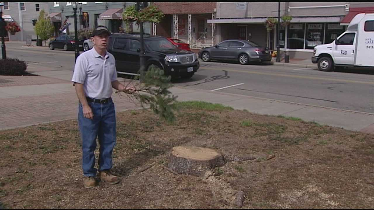 A Hamilton County community had to cut down its 46-year-old Christmas tree due to an insect infestation.