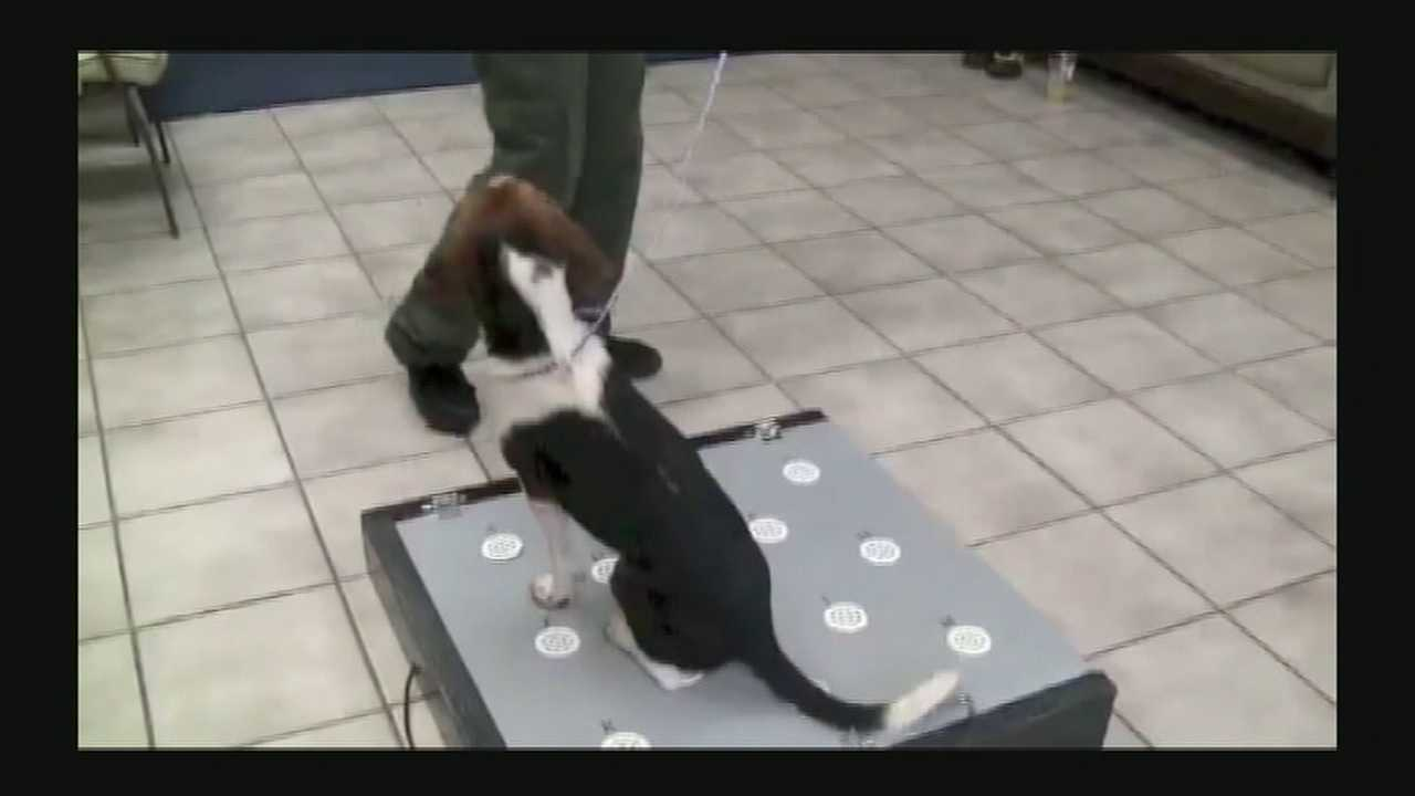 Beagle may help Cincinnati Zoo detect polar bear pregnancy