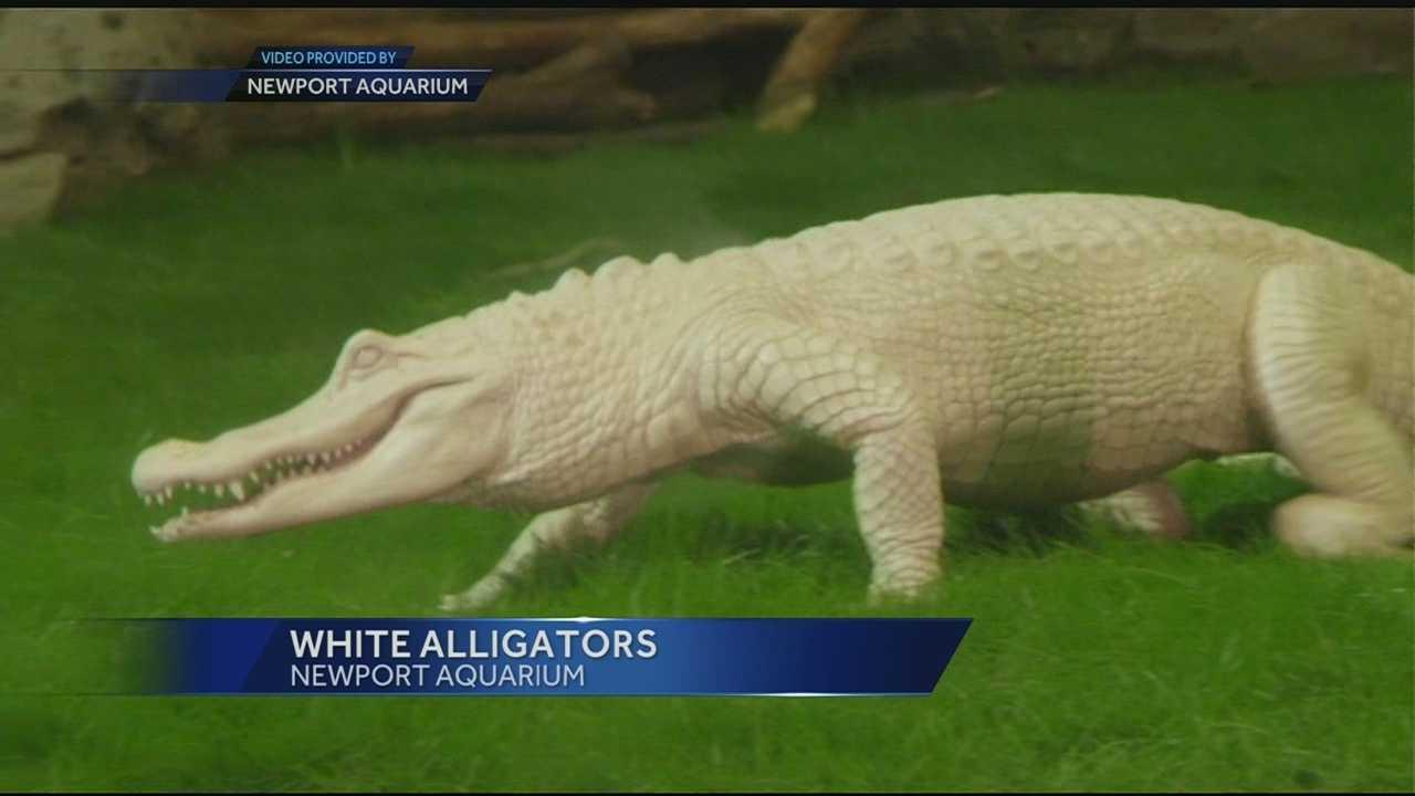 newport white alligators
