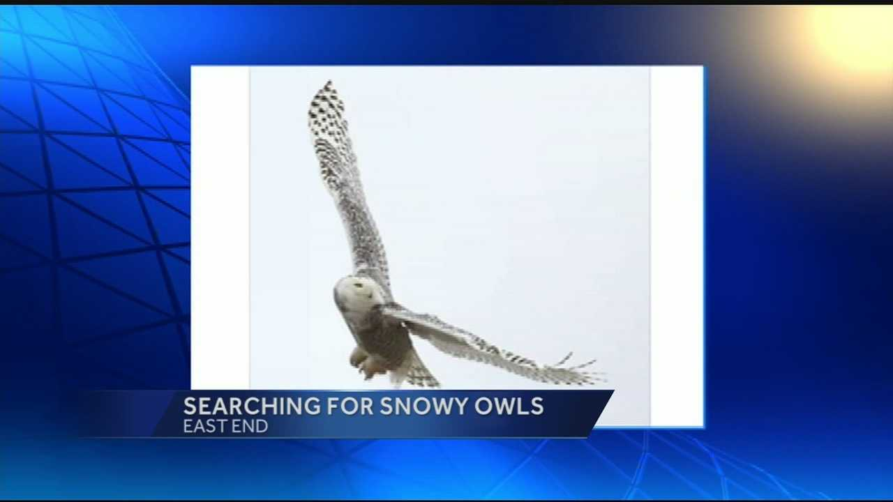 It's the best time to spot Snowy Owls in the Tri-State.