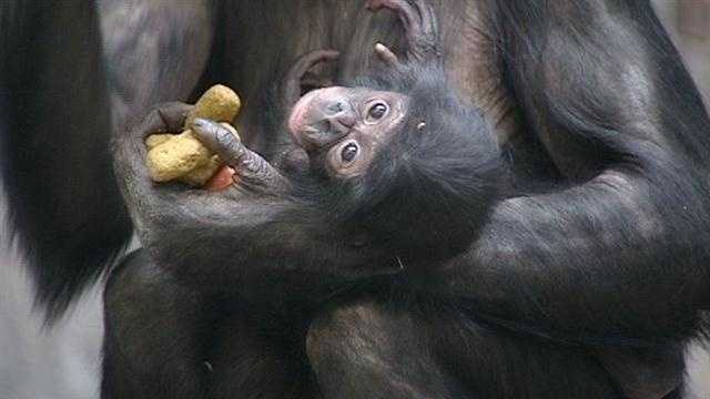The Cincinnati Zoo presented their 8-week-old bonobo Thursday