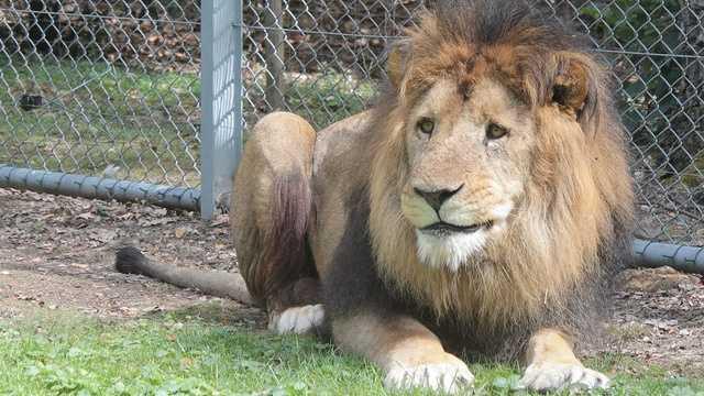 generic lion img