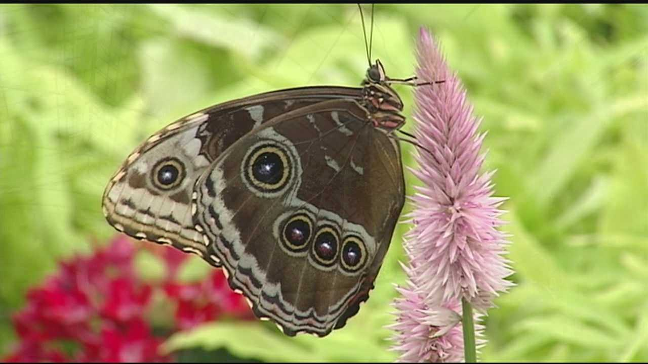 The Krohn Conservatory officially kicks off its annual butterfly show Saturday. Each day, between 500 and 1,000 butterflies are released into the exhibit. Around 75 percent of the butterflies on display are native to Costa Rica, while the others are display butterflies that add to the show. This year's show will feature butterflies from Costa Rica, as well as upcycled garden décor and a living greenhouse with lizards and birds.