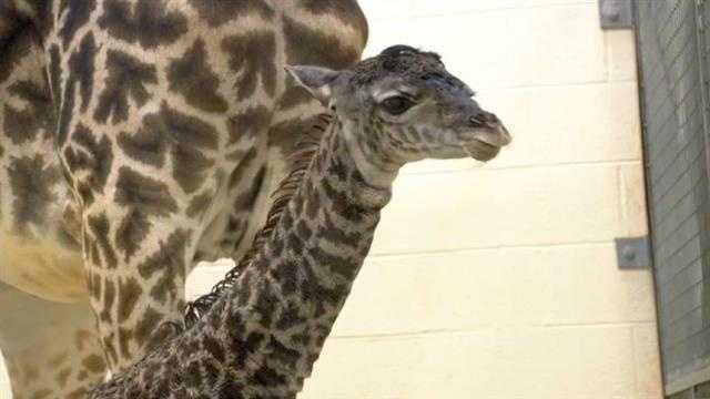 Giraffe birth (21).jpg