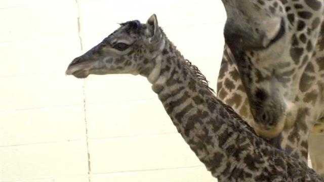 Giraffe birth (22).jpg