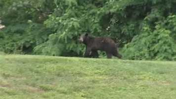 June 24, 2014: A black bear is causing a buzz in Clermont County. Miami Township police said they received several calls from people saying that they had seen a small black bear in their neighborhoods over the last few days.