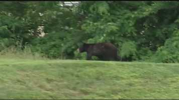 June 24, 2014: Miami Township police said they received several calls from people saying that they had seen a small black bear in their neighborhoods over the last few days.