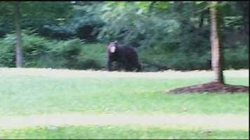 June 26, 2014: Roaming black bear spotted in Montgomery