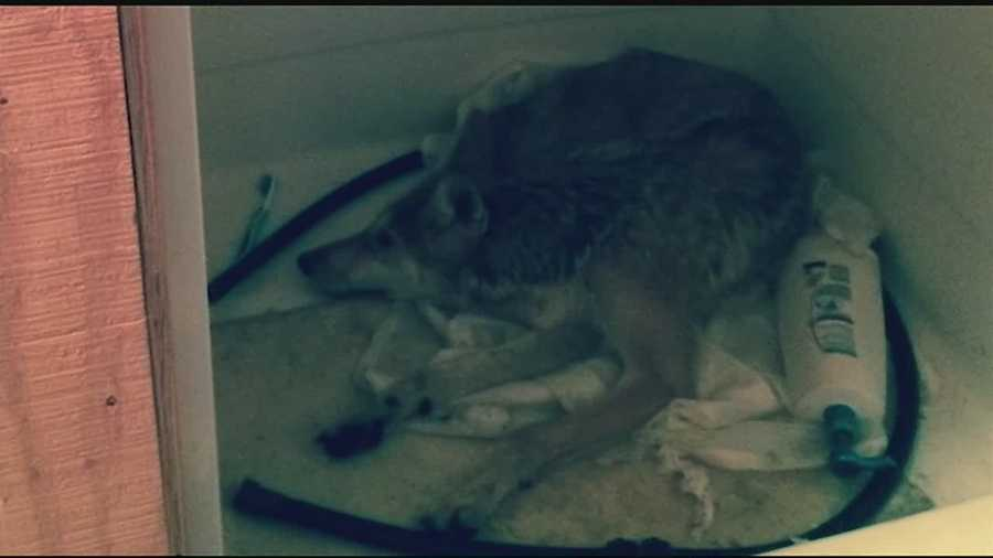 Coyote Becomes Trapped In Food Pantrys Bathroom - Bathroom stall supplies