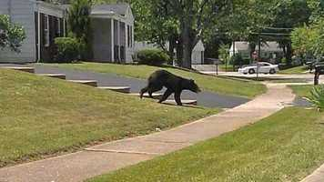 Bear spotted near Carefree Drive on July 8, 2014.