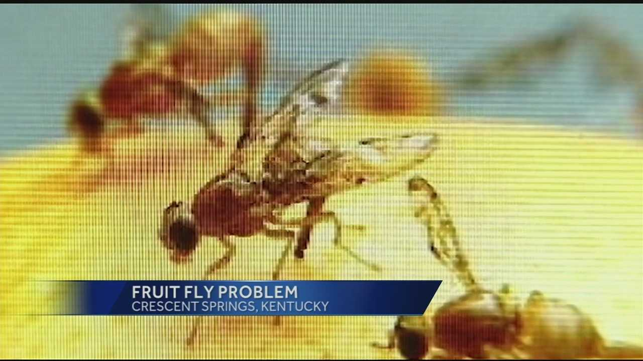 Fruit flies are a pest we've all encountered. And right now, it seems their numbers are out of control.
