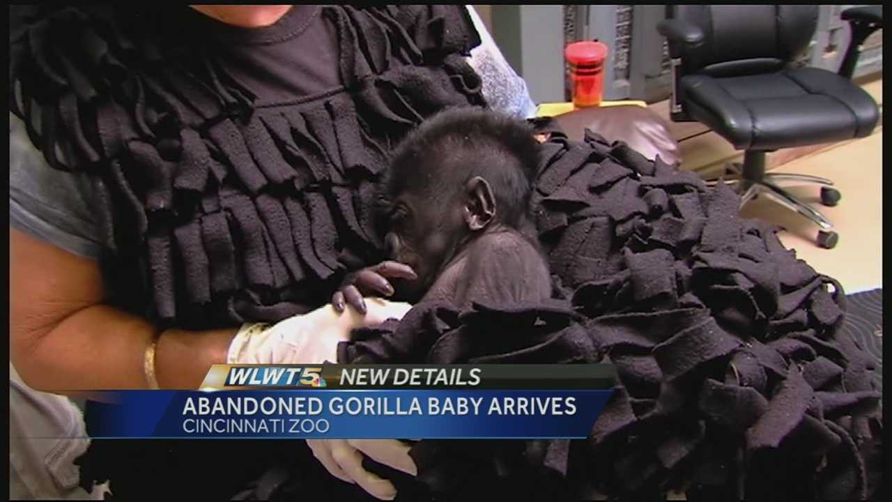 For the second time in two years, the zoo has taken in a baby gorilla that will be raised by a surrogate mother.