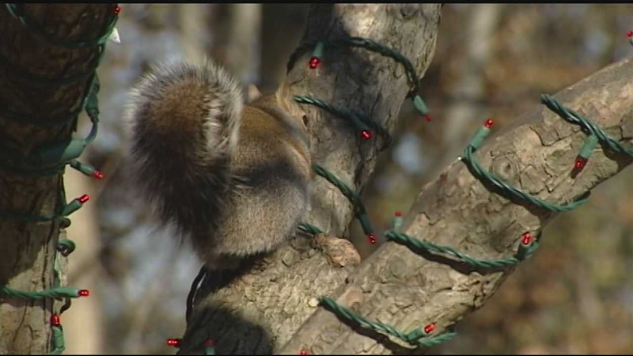 Zoo officials said their Festival of Lights show is being threatened because squirrels have been gnawing on the light strands, killing the power to certain areas of the display