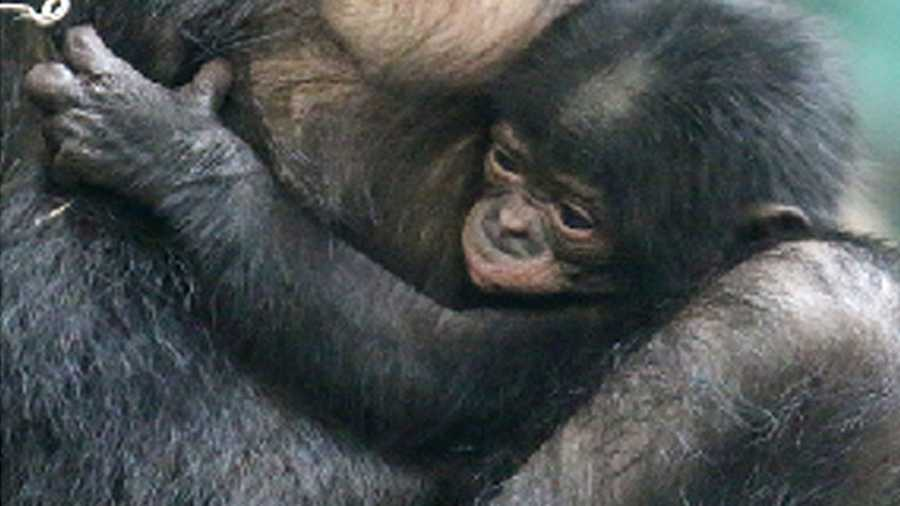 Baby Bonobo at Cincinnati ZooCincinnati ZooThe newest zoo baby made his debut April 9 and is ready to receive love from the public! Head to the zoo and help think of good names for him as he is still nameless!Visit the zoo's website for more information