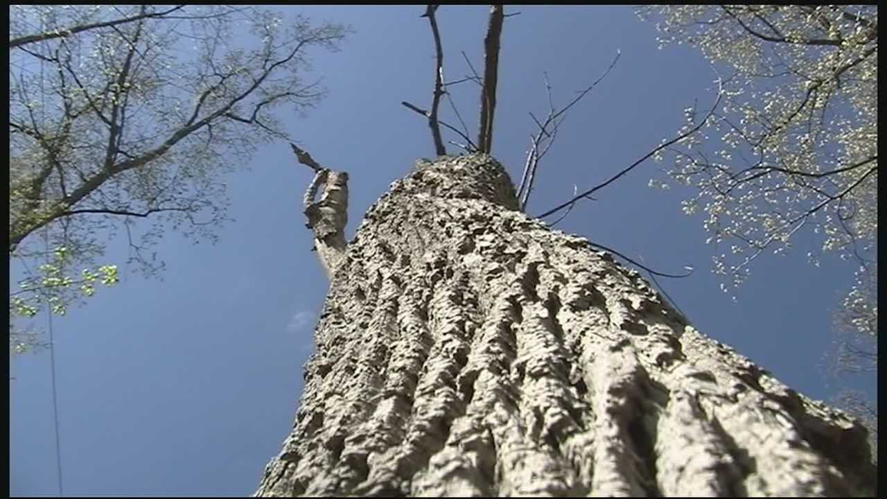 The first signs to look for in an infested tree, as the leaves begin to bud in the coming weeks, look for missing canopy or zones lacking leaves high in the tree.