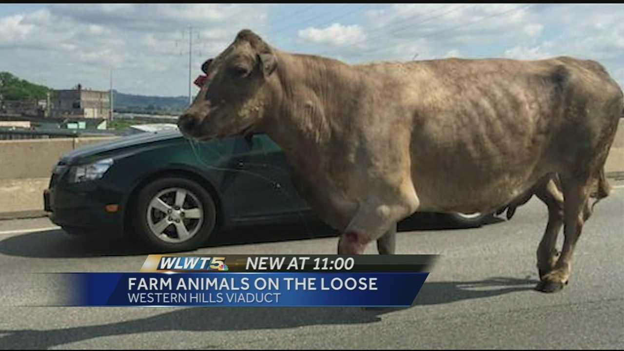A cow and a pick ran amok Wednesday. The cow had to be put down after it charged a handler and the pig was taken in by the SPCA.
