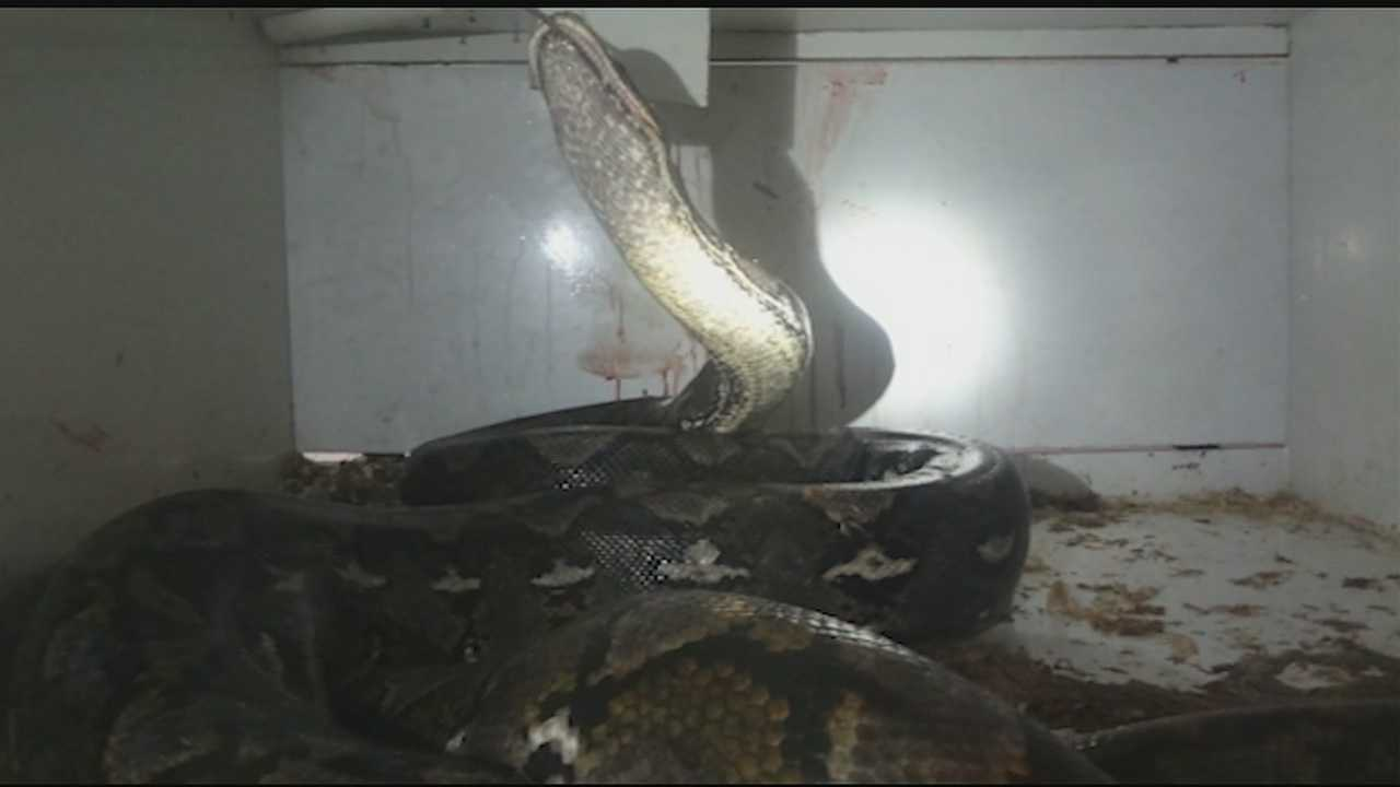 Melissa McElfresh said she was in the store like she usually is every day. She said she was tapping on the python's glass to distract the snake while Wilkins cleaned out the cage, but then the snake bit his arm.