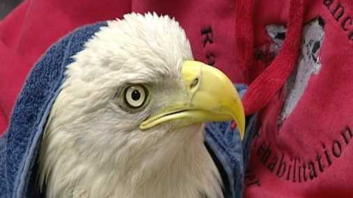 Bald Eagle Being Rehabbed At Red Wolf Sanctuary After Rescue From Trap