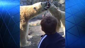 Cincinnati Zoo polar bears minutes before a female bear escaped her enclosure.