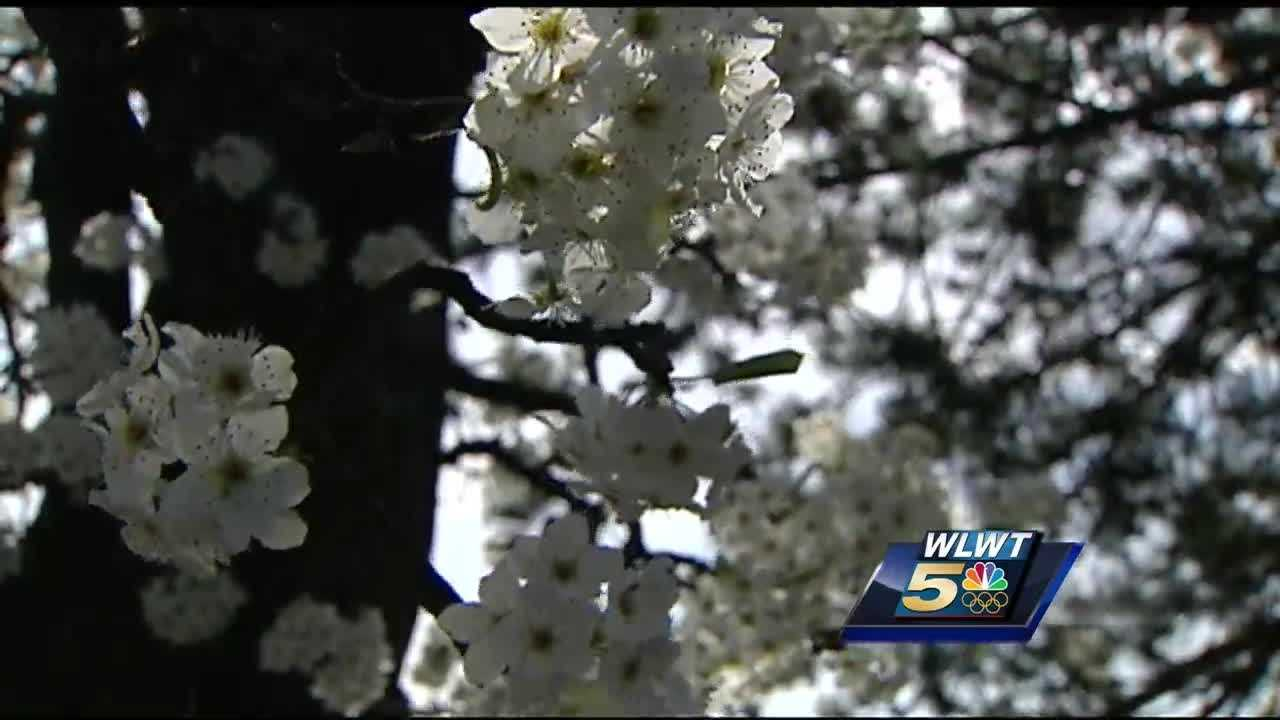 GUÍA DE JARDINERÍA DEL NOROESTE: Árboles con flores de primavera: Bastante en rosa y blanco