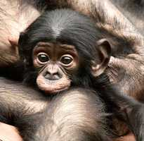 Bo the baby bonobo hangs out with his mom.