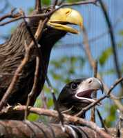 A sea eagle chick is among the babies featured in Cincinnati's Zoo Babies this May.