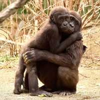 Two baby gorillas - Elle and Mona - are living at the Cincinnati Zoo.