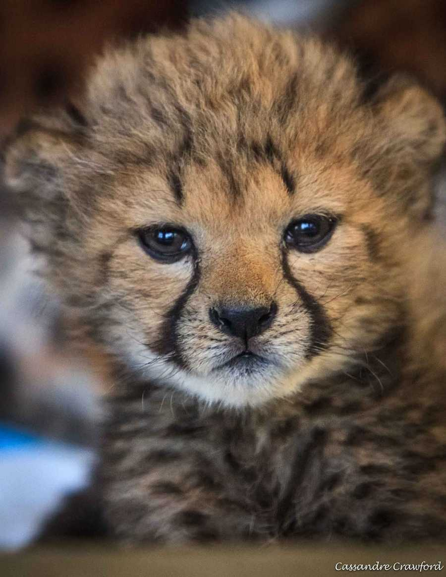 Three cheetah cubs were born prematurely in the zoo, and a fourth cub was sent from another zoo after his mother couldn't take care of him.