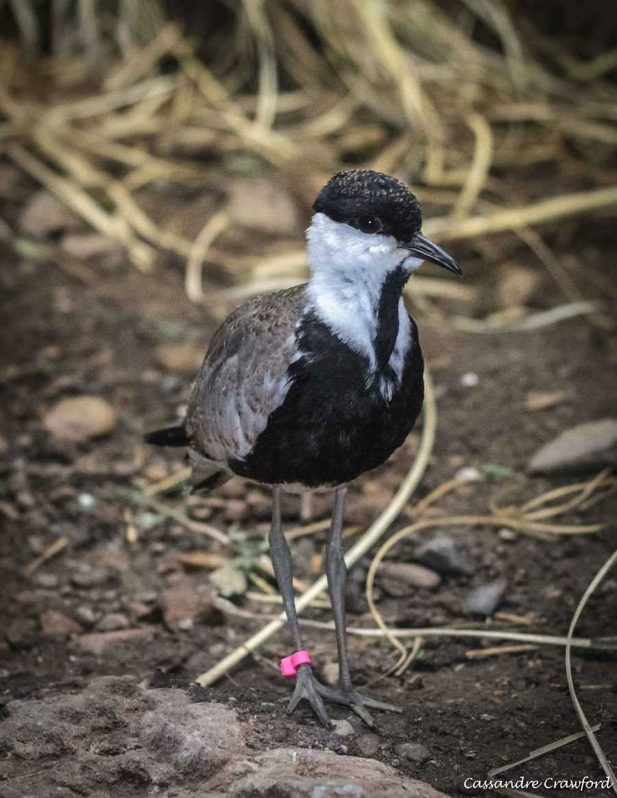 The babies at the Cincinnati Zoo aren't limited to mammals—visitors can see baby birds, too, like this spur-winged lapwing.