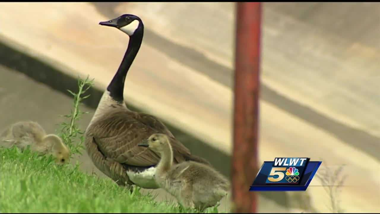 It's a rescue some officer never imagined they would have to make but two Cincinnati Police officers helped a tangled goose.
