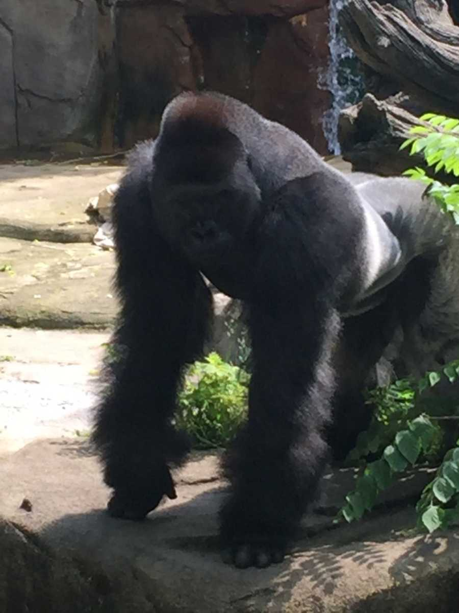 Harambe looks down at the boy.