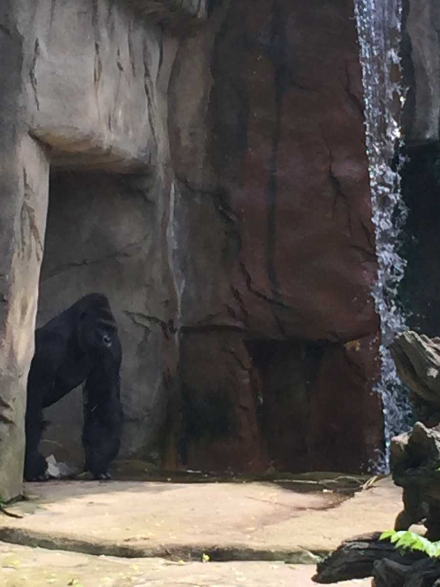 In the first photo, Harambe pokes his head out of the cave.
