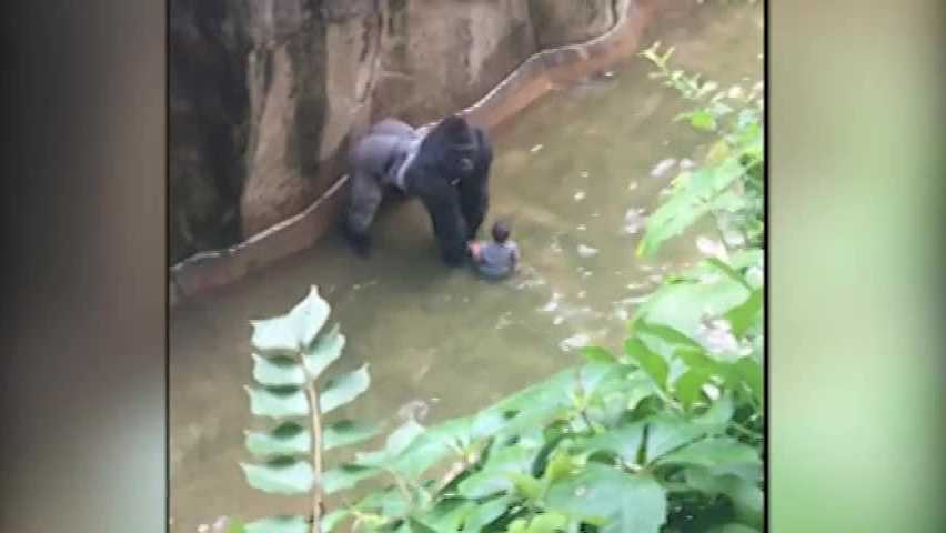 Harambe with 3-year-old boy