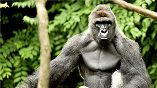 Harambe, a 17-year-old male lowland gorilla, was shot and killed by zoo officials after a boy got into his habitat May 28, 2016.