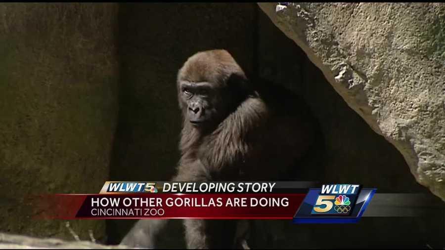 cincinnati zoo s gorillas behaving normally after death of harambe