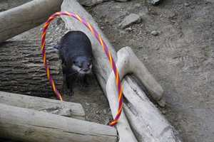 Neda navigates the Olympic hoops placed in her habitat at the Newport Aquarium's Otter Olympics.