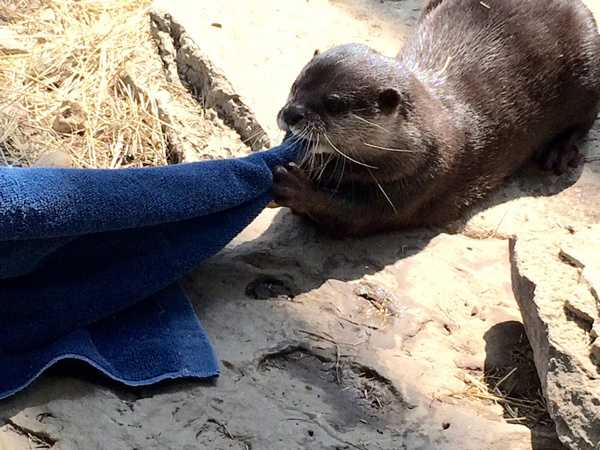 Neda competes in the tug-of-war contest at the Newport Aquarium's Otter Olympics.