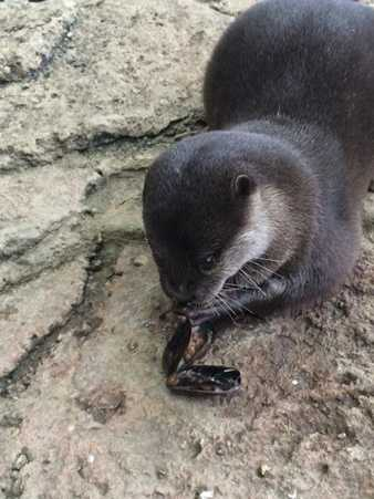 Chop competes in the eating contest during the Newport Aquarium's Otter Olympics.