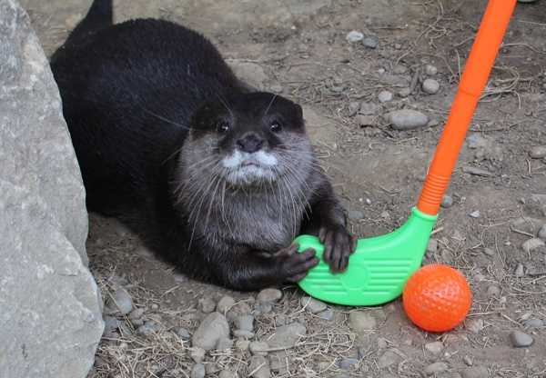 Chop competes in golf during the Newport Aquarium's Otter Olympics.