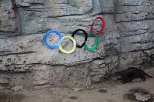 Chop near the Otter Olympic Rings at the Newport Aquarium.