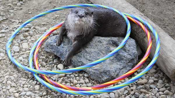 Chop with the hula hoops during the Otter Olympics at the Newport Aquarium.