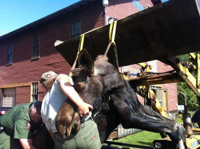 Capt. Tom Roth said game wardens tranquilized the moose on Seavey Street and then used a front end loader to hoist the animal onto a truck so it could be taken to York County.