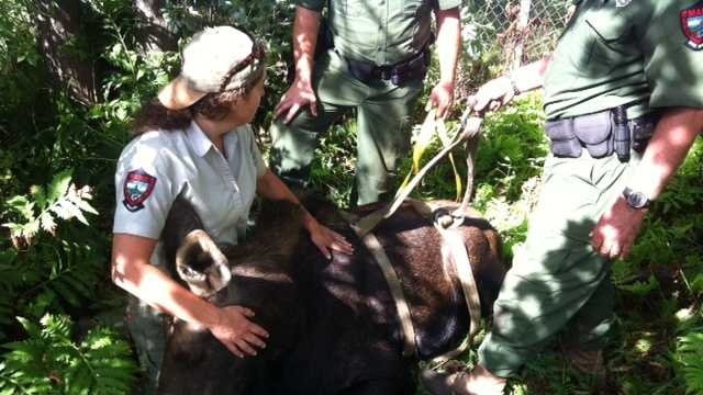 Maine Game Wardens game wardens tranquilized a 600-700 pound moose that was wandering around a busy area of Westbrook Wednesday morning.