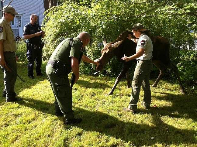 The moose was released in good condition in Parsonsfield, police said.