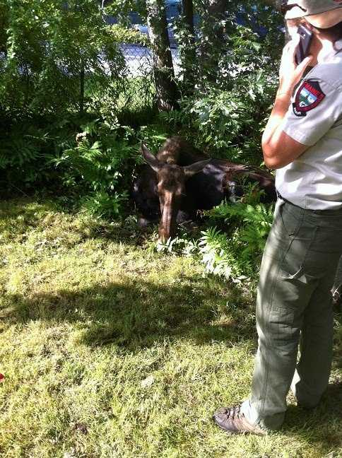 The moose turned up again Wednesday morning near the Westbrook Arterial. Roth said the moose crossed the arterial behind the Stockhouse Restaurant on Maine Street and then to Seavey Street.