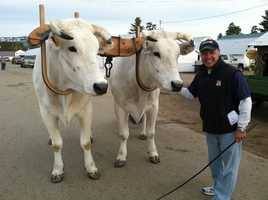 These large oxen are an Italian breed.