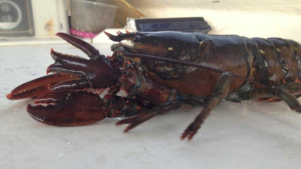 Zach Donnell said he found a lobster in one of his traps and didn't want to take it to market.