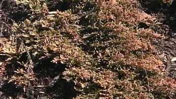 WMTW News 8's Norm Karkos looks at how to get rid of Creeping Juniper from your lawn.