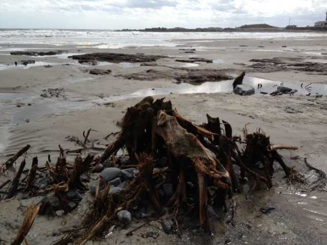 This winter's storms have revealed ancient stumps on Kennebunk Beach.  There is controversy over whether the stumps and roots should be removed.